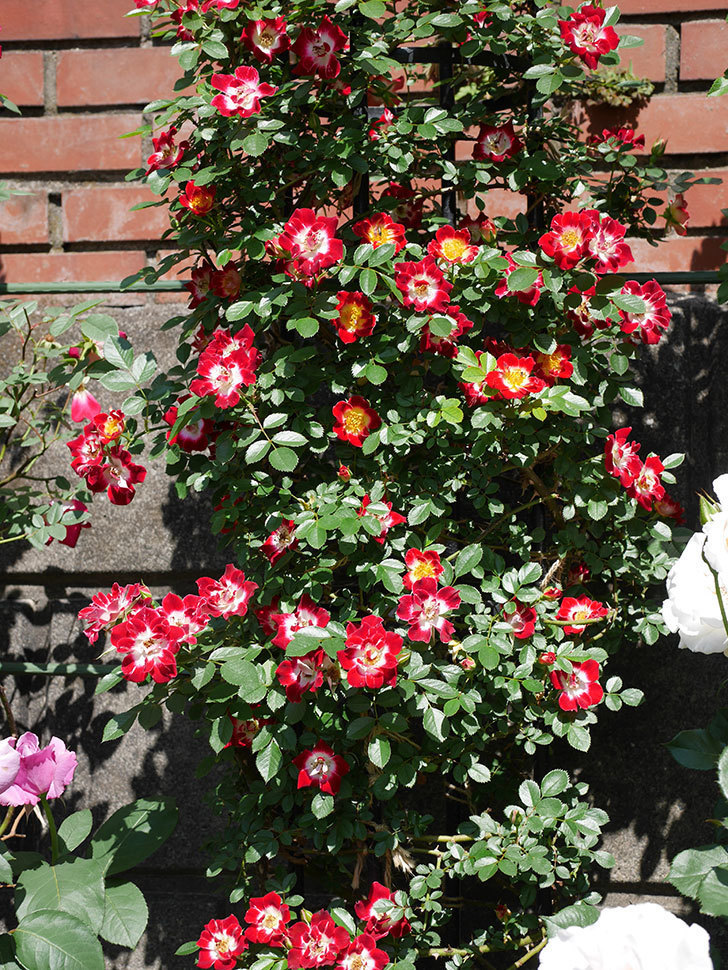 つるリトル・アーティスト(ミニバラ)の花が満開になった。2019年-4.jpg