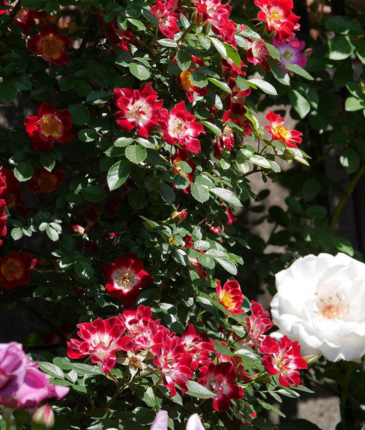 つるリトル・アーティスト(ミニバラ)の花が満開になった。2019年-9.jpg