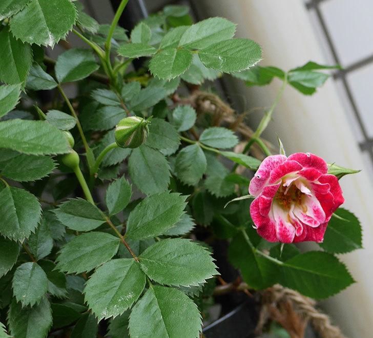 つるリトル・アーティスト(ミニバラ)の花が綺麗に咲いた。2018年-3.jpg