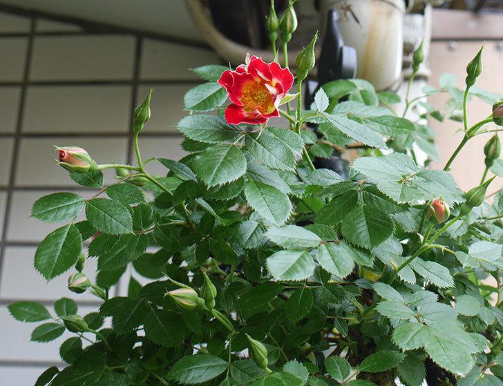 つるリトル・アーティスト(ミニバラ)の花が綺麗に咲いた。2018年-4.jpg