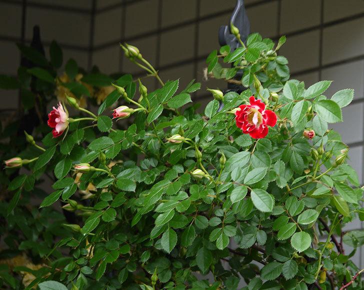 つるリトル・アーティスト(ミニバラ)の花が綺麗に咲いた。2018年-7.jpg