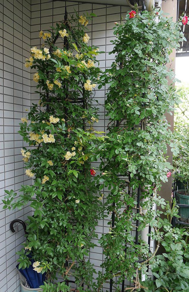 つるリトル・アーティスト(ミニバラ)の花が綺麗に咲いた。2018年-8.jpg
