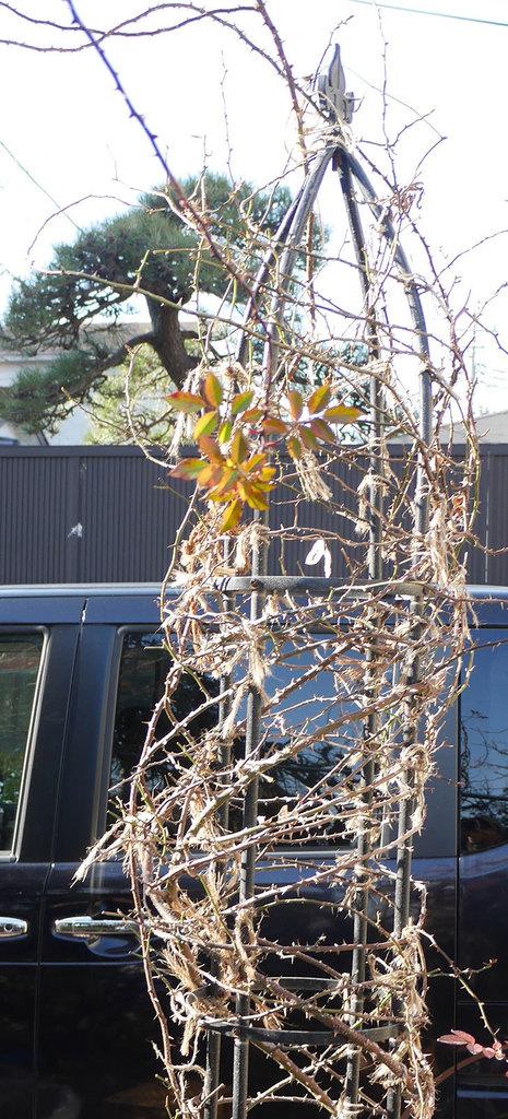 つるリトル・アーティスト(ミニバラ)の鉢植えをオベリスクに誘引した。2019年-2.jpg