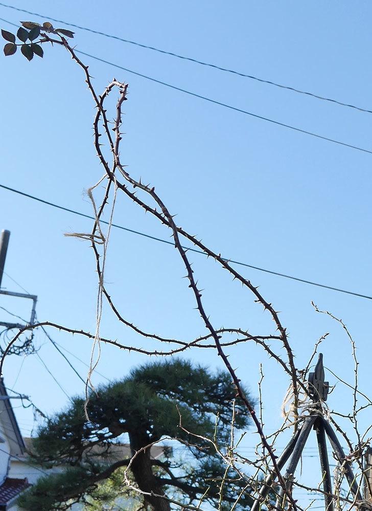 つるリトル・アーティスト(ミニバラ)の鉢植えをオベリスクに誘引した。2019年-3.jpg