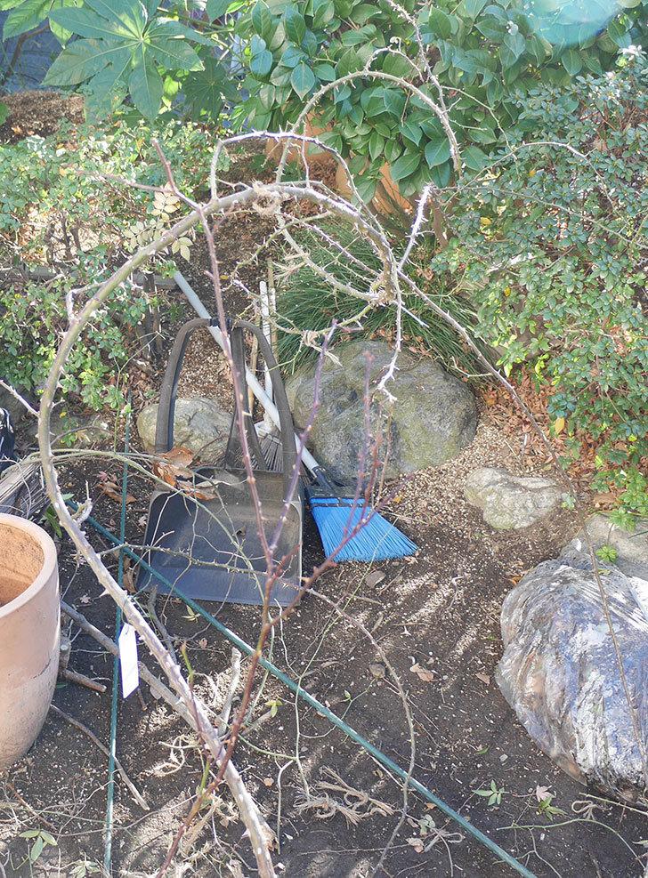 つるリトル・アーティスト(ミニバラ)の鉢植えをオベリスクに誘引した。2019年-4.jpg