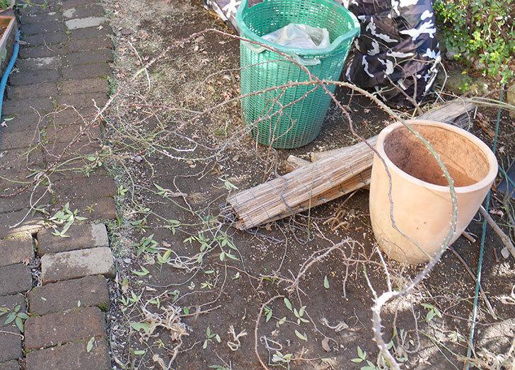つるリトル・アーティスト(ミニバラ)の鉢植えをオベリスクに誘引した。2019年-5.jpg