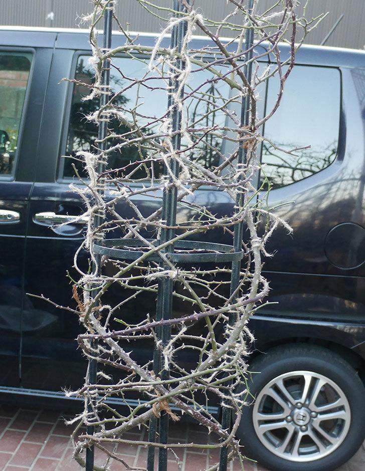 つるリトル・アーティスト(ミニバラ)の鉢植えをオベリスクに誘引した。2019年-9.jpg