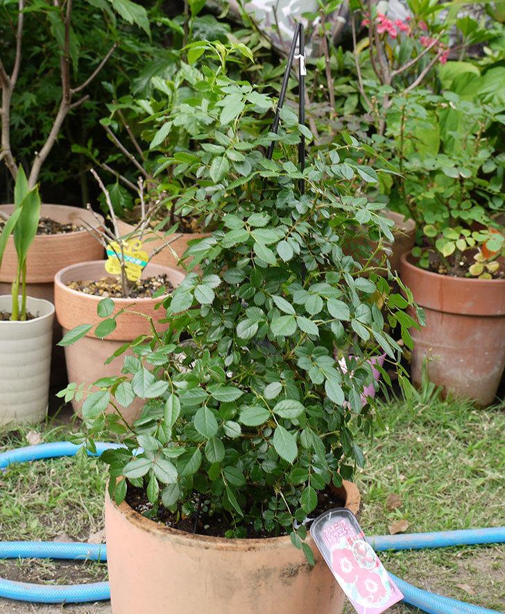 つるリトル・アーティスト(ミニバラ)を鉢に植えた。2016年-1.jpg