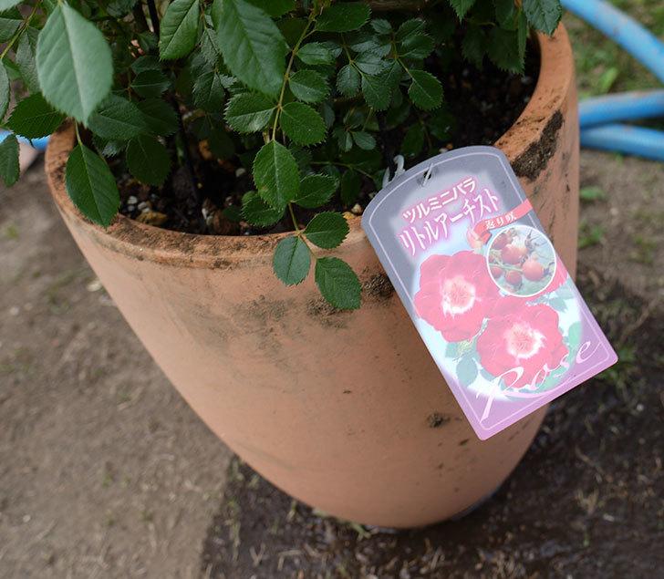 つるリトル・アーティスト(ミニバラ)を鉢に植えた。2016年-6.jpg