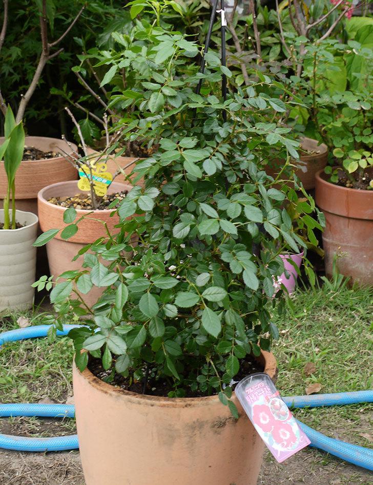 つるリトル・アーティスト(ミニバラ)を鉢に植えた。2016年-8.jpg