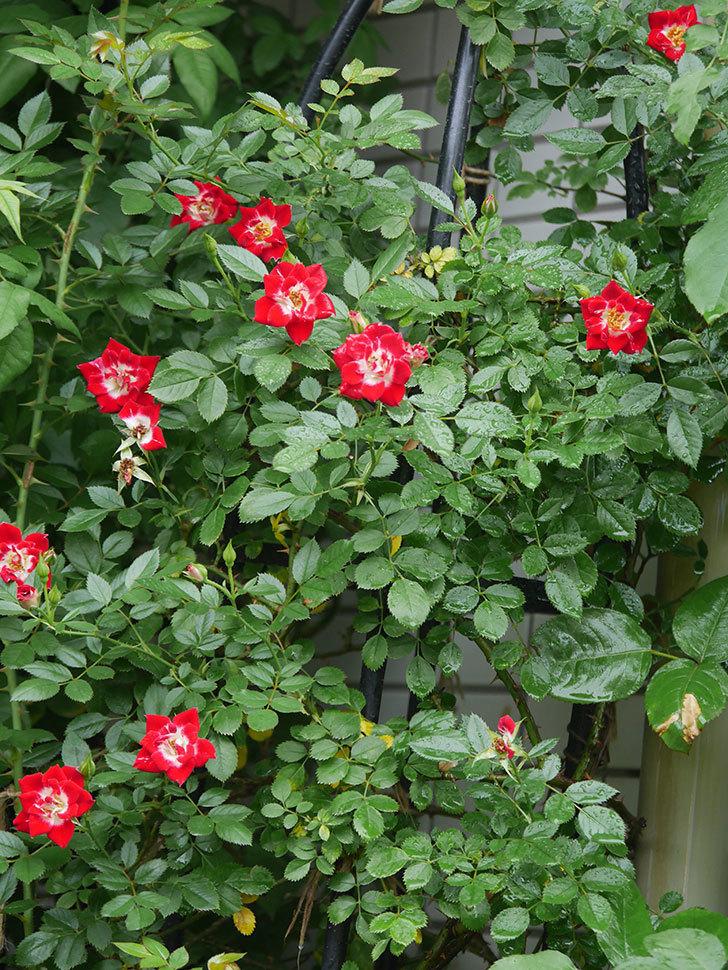 つるリトル・アーティスト(Little Artist Climbing)の2番花がたくさん咲いた。ツルミニバラ。2020年-019.jpg