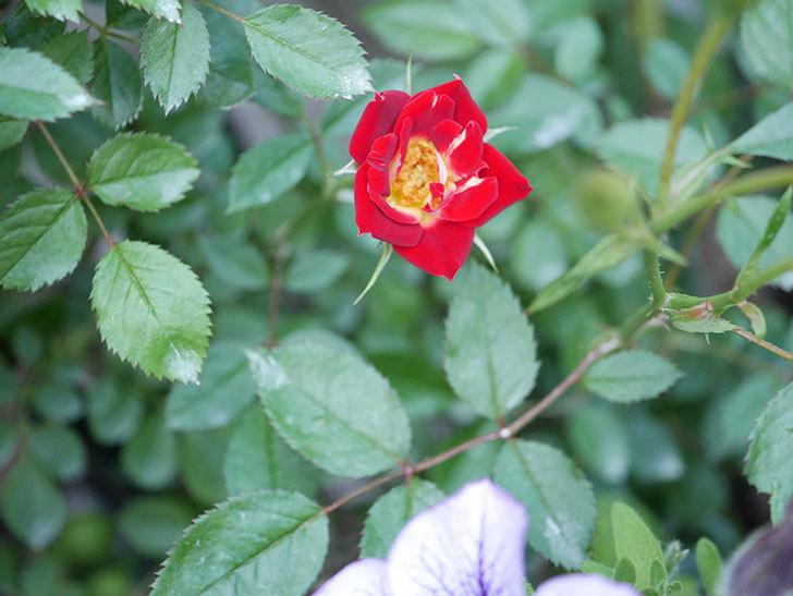 つるリトル・アーティスト(Little Artist Climbing)の2番花が咲いた。ツルミニバラ。2020年-001.jpg