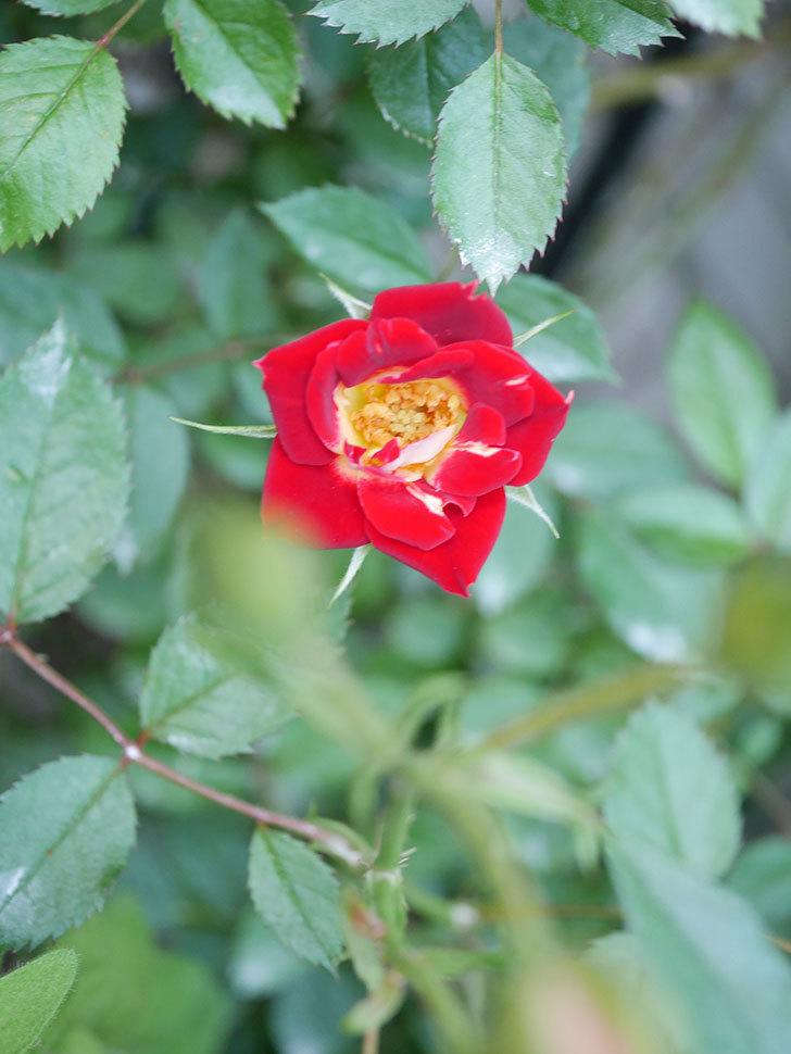 つるリトル・アーティスト(Little Artist Climbing)の2番花が咲いた。ツルミニバラ。2020年-002.jpg