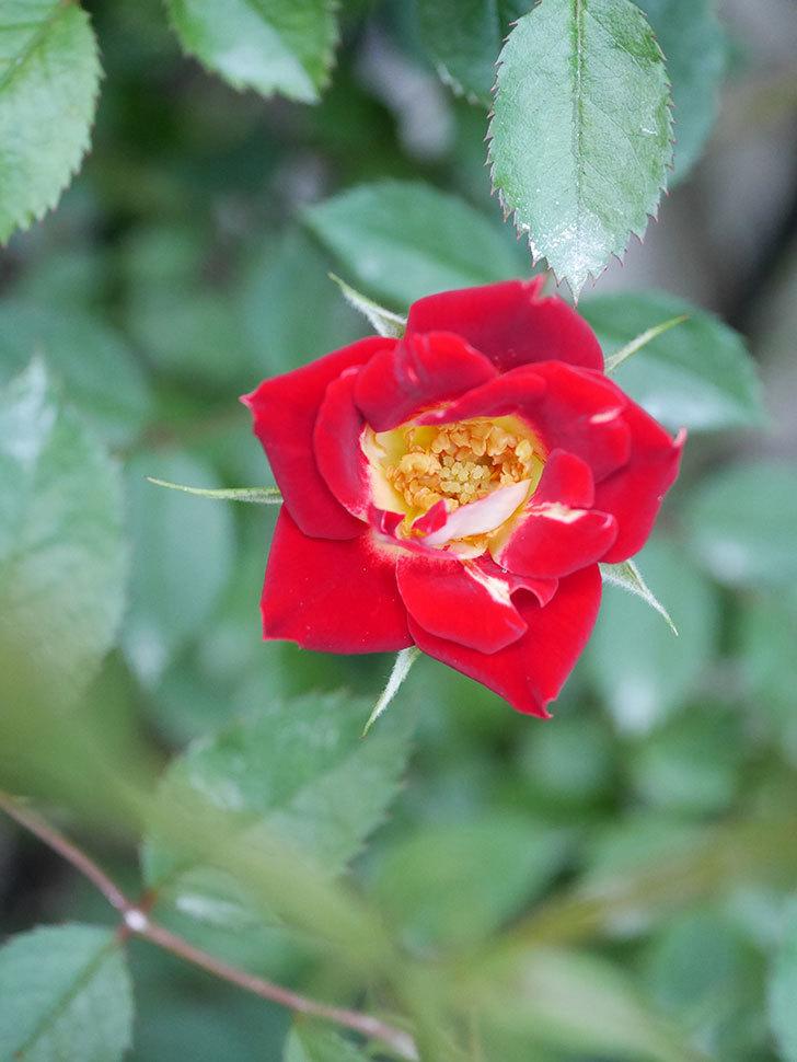 つるリトル・アーティスト(Little Artist Climbing)の2番花が咲いた。ツルミニバラ。2020年-003.jpg