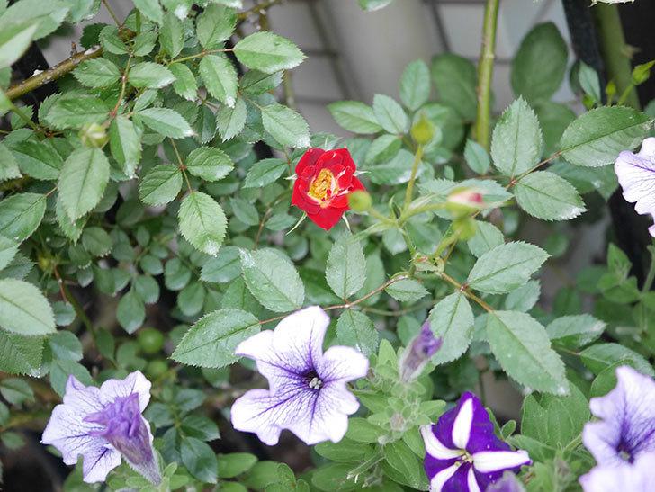 つるリトル・アーティスト(Little Artist Climbing)の2番花が咲いた。ツルミニバラ。2020年-004.jpg