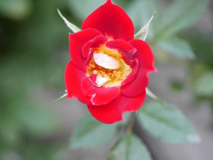 つるリトル・アーティスト(Little Artist Climbing)の2番花が咲いた。ツルミニバラ。2020年-006.jpg