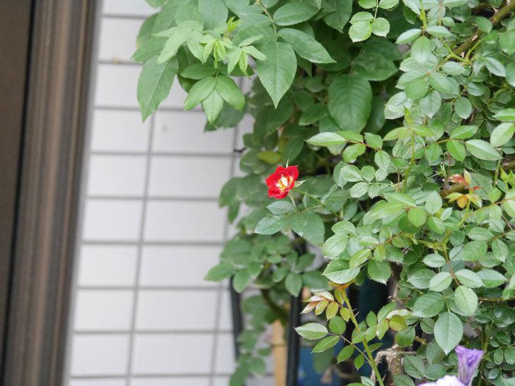 つるリトル・アーティスト(Little Artist Climbing)の2番花が咲いた。ツルミニバラ。2020年-007.jpg