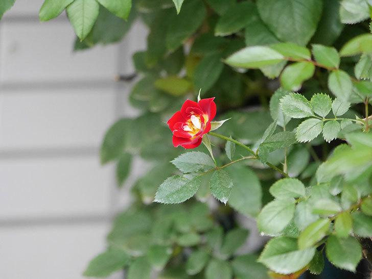 つるリトル・アーティスト(Little Artist Climbing)の2番花が咲いた。ツルミニバラ。2020年-008.jpg