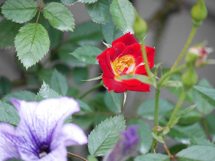 つるリトル・アーティスト(Little Artist Climbing)の2番花が咲いた。ツルミニバラ。2020年-009.jpg
