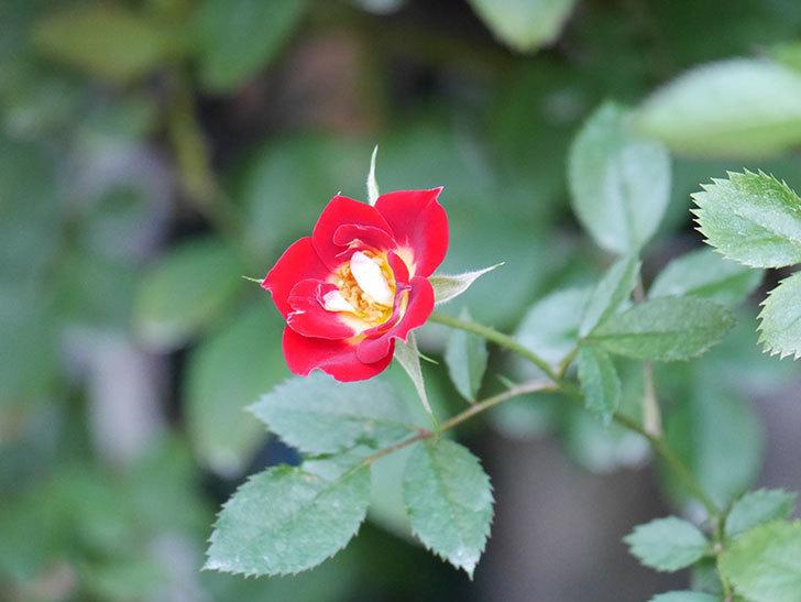 つるリトル・アーティスト(Little Artist Climbing)の2番花が咲いた。ツルミニバラ。2020年-010.jpg