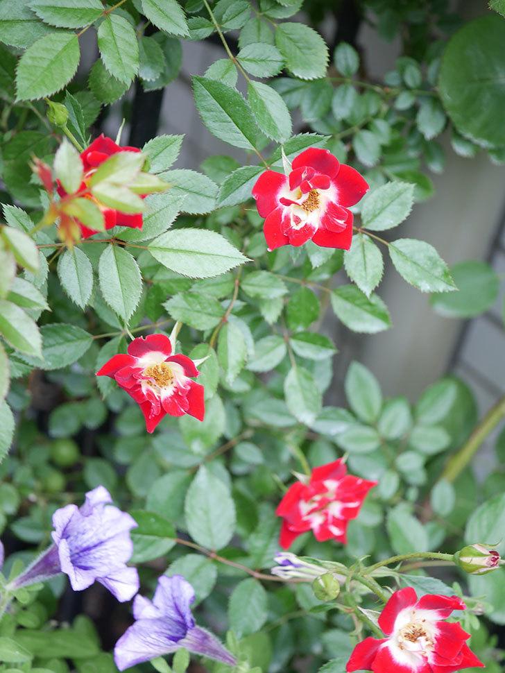 つるリトル・アーティスト(Little Artist Climbing)の2番花が増えてきた。ツルミニバラ。2020年-005.jpg