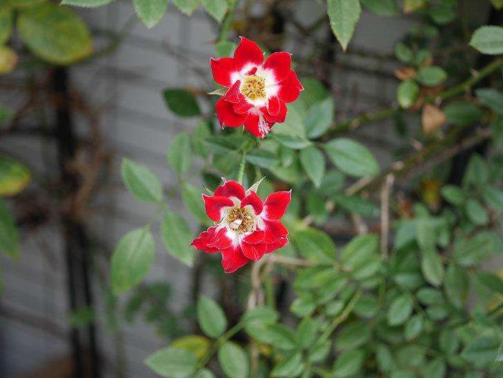 つるリトル・アーティスト(Little Artist Climbing)の秋花が咲いた。ツルミニバラ。2020年-001.jpg