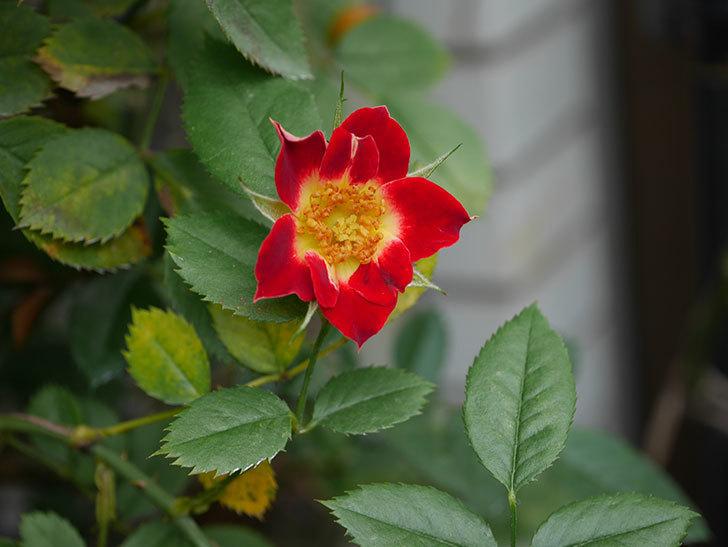つるリトル・アーティスト(Little Artist Climbing)の秋花が咲いた。ツルミニバラ。2020年-008.jpg