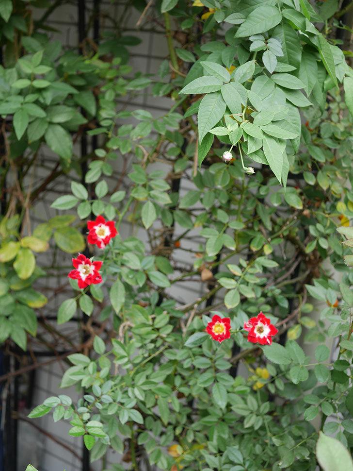 つるリトル・アーティスト(Little Artist Climbing)の秋花が咲いた。ツルミニバラ。2020年-010.jpg