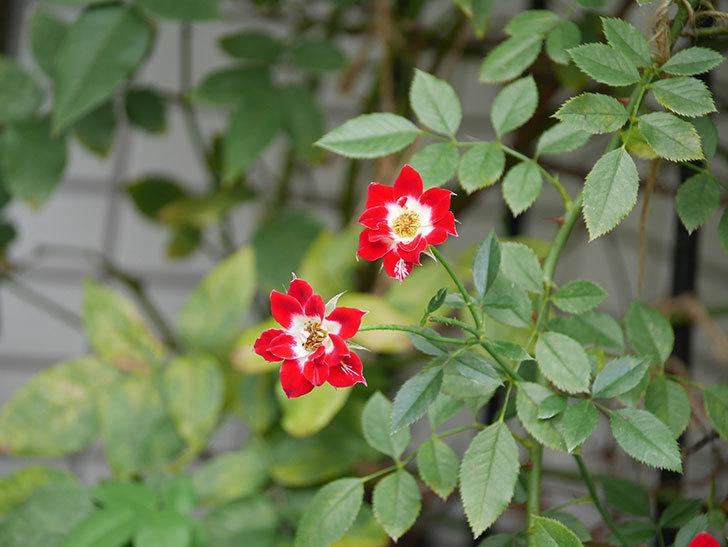 つるリトル・アーティスト(Little Artist Climbing)の秋花が咲いた。ツルミニバラ。2020年-013.jpg