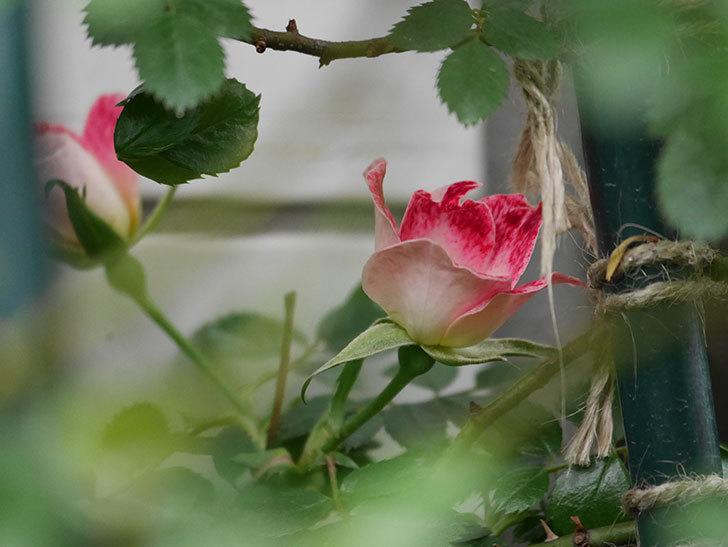 つるリトル・アーティスト(Little Artist Climbing)の花が2個咲いた。ツルミニバラ。2021年-003.jpg