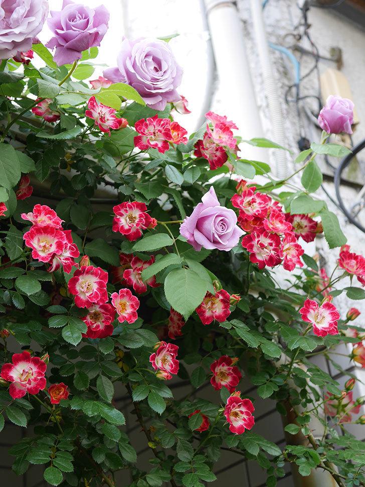 つるリトル・アーティスト(Little Artist Climbing)の花がたくさん咲いた。ツルミニバラ。2021年-039.jpg