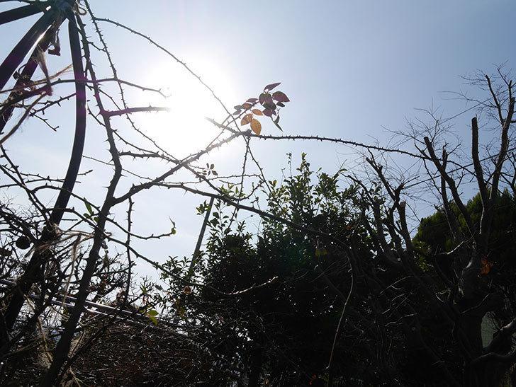 つるリトル・アーティスト(Little Artist Climbing)をオベリスクに誘引をした。ツルミニバラ。2021年-010.jpg