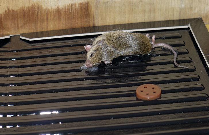 ねずみ捕りにネズミがかかった1.jpg