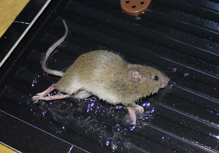 ねずみ捕りにネズミがかかった5.jpg