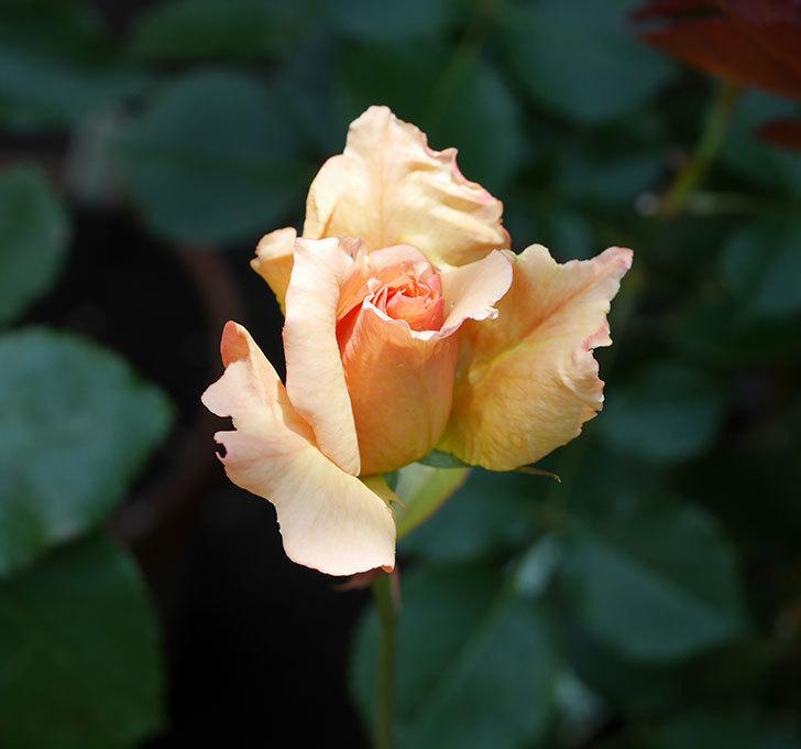 はつね(木立バラ)の2番花が1個咲いた。2018年-1.jpg