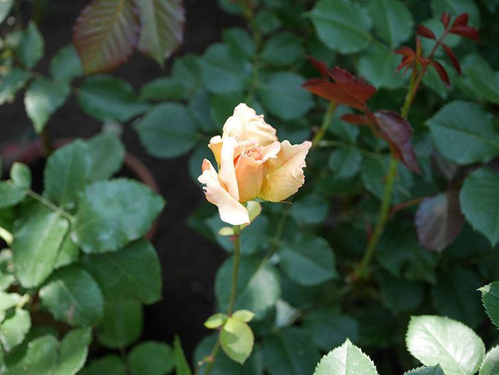 はつね(木立バラ)の2番花が1個咲いた。2018年-3.jpg