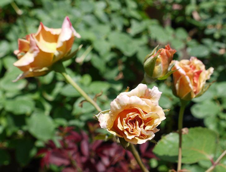 はつね(木立バラ)の2番花が3個咲いた。2017年-1.jpg
