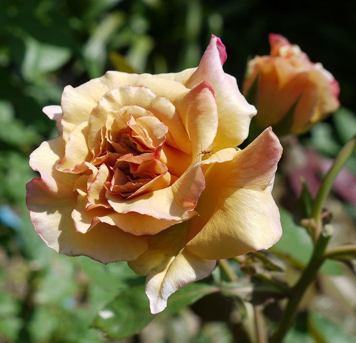 はつね(木立バラ)の2番花が3個咲いた。2017年-4.jpg
