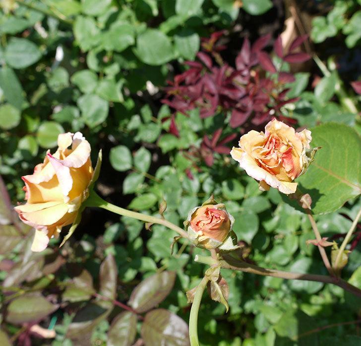 はつね(木立バラ)の2番花が3個咲いた。2017年-5.jpg