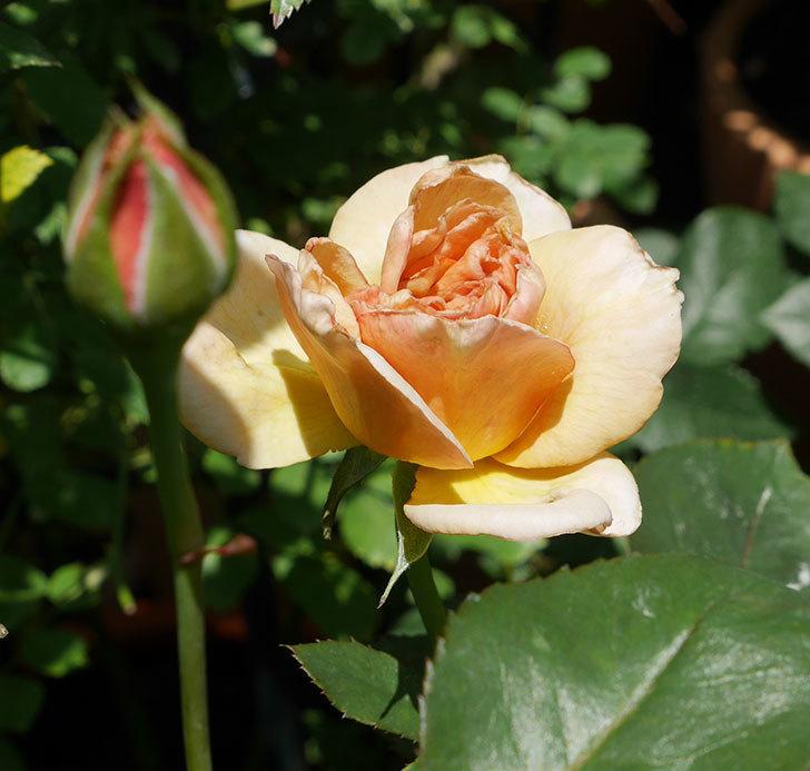 はつね(木立バラ)の2番花がまた咲いた。2018年-1.jpg