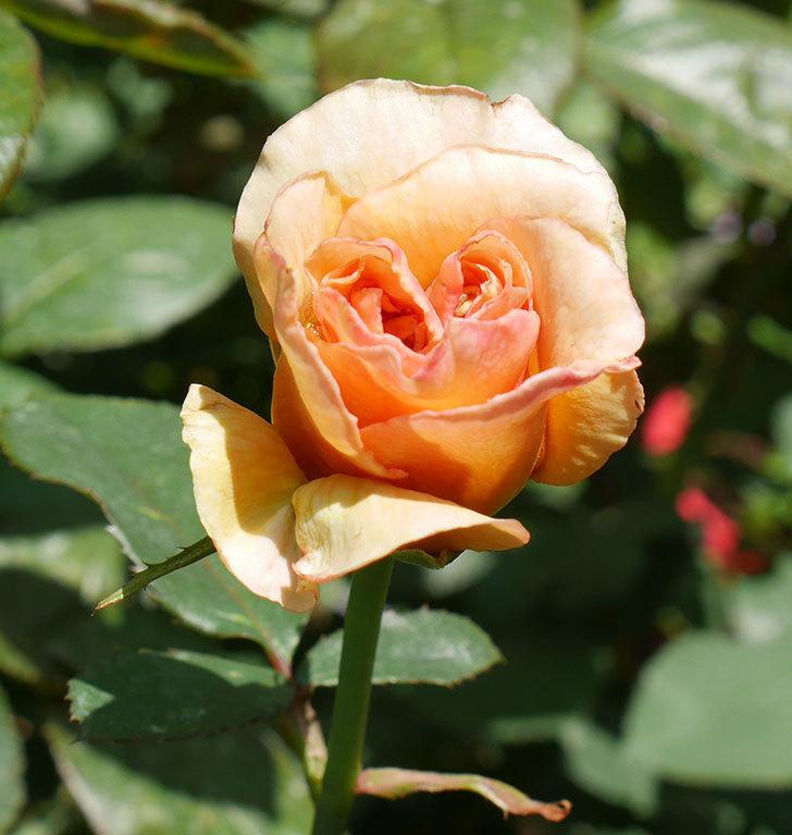はつね(木立バラ)の2番花がまた咲いた。2018年-2.jpg