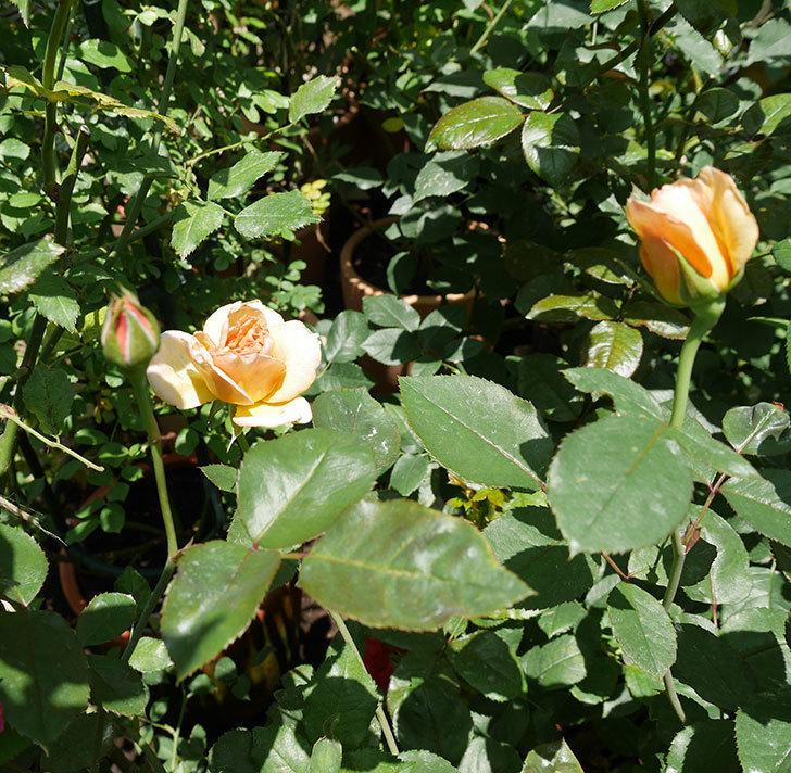 はつね(木立バラ)の2番花がまた咲いた。2018年-3.jpg