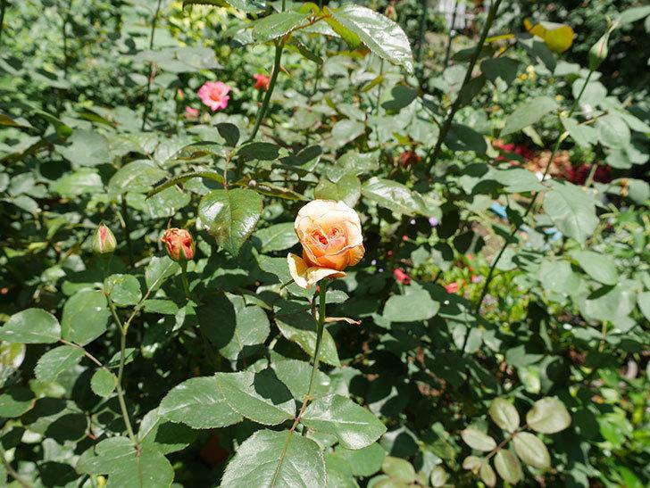はつね(木立バラ)の2番花がまた咲いた。2018年-4.jpg