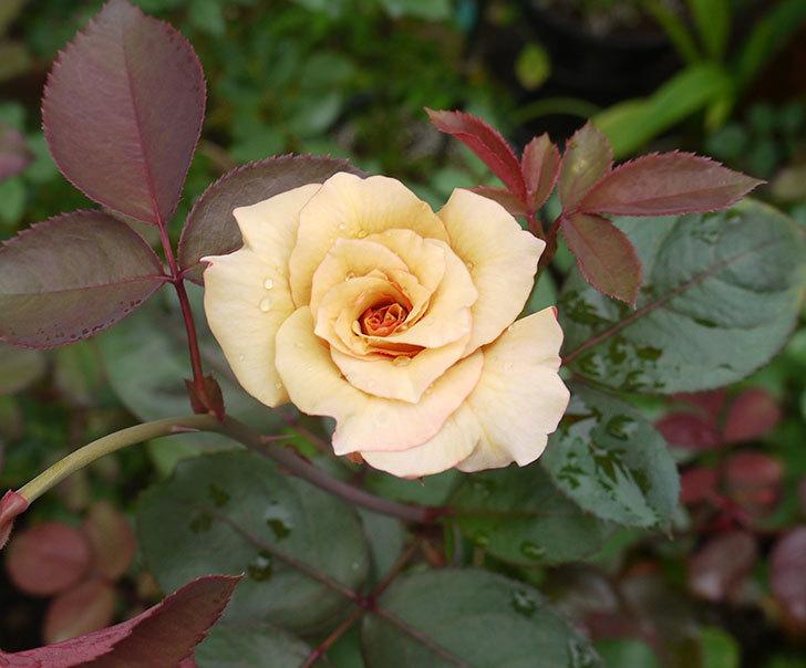 はつね(木立バラ)の2番花が咲いた。2016年-1.jpg