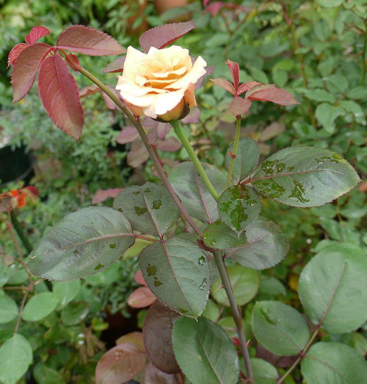 はつね(木立バラ)の2番花が咲いた。2016年-3.jpg