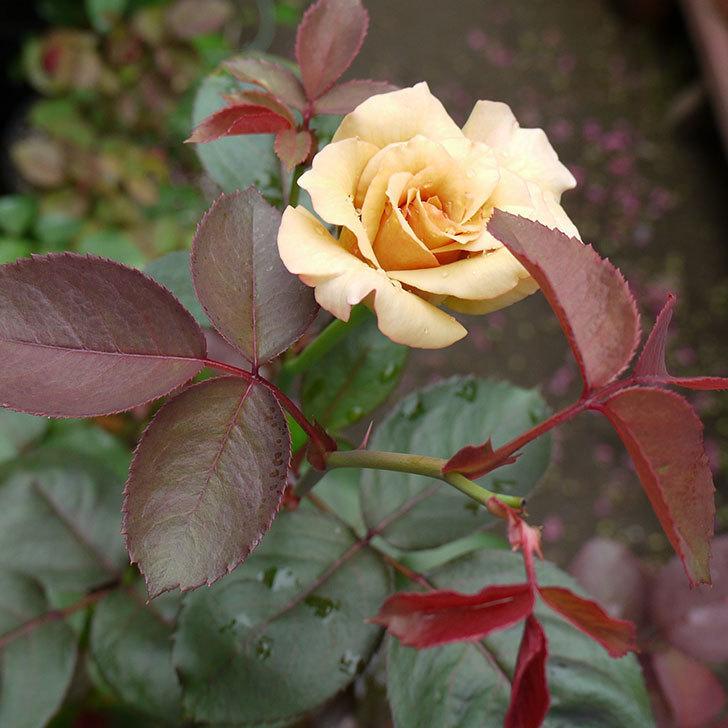 はつね(木立バラ)の2番花が咲いた。2016年-4.jpg