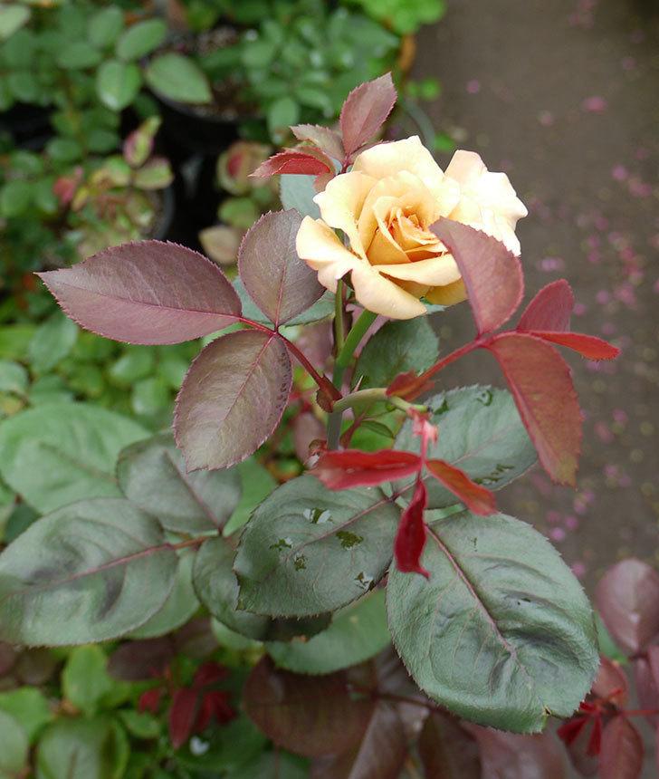 はつね(木立バラ)の2番花が咲いた。2016年-5.jpg