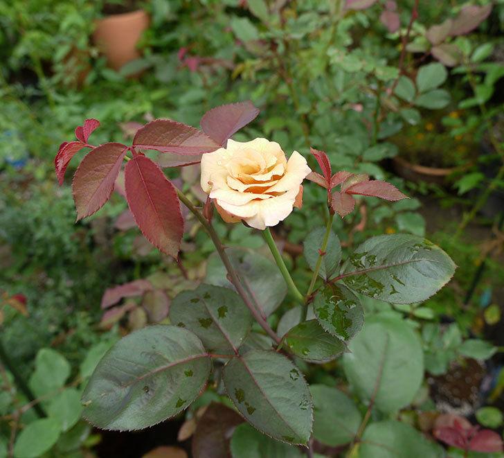 はつね(木立バラ)の2番花が咲いた。2016年-6.jpg