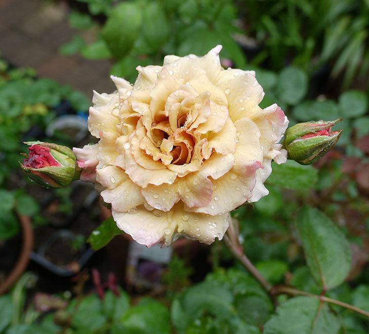 はつね(木立バラ)の2番花が咲いた。2017年-1.jpg