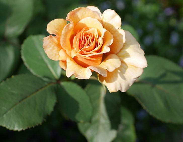 はつね(木立バラ)の2番花が咲いた。2019年-1.jpg
